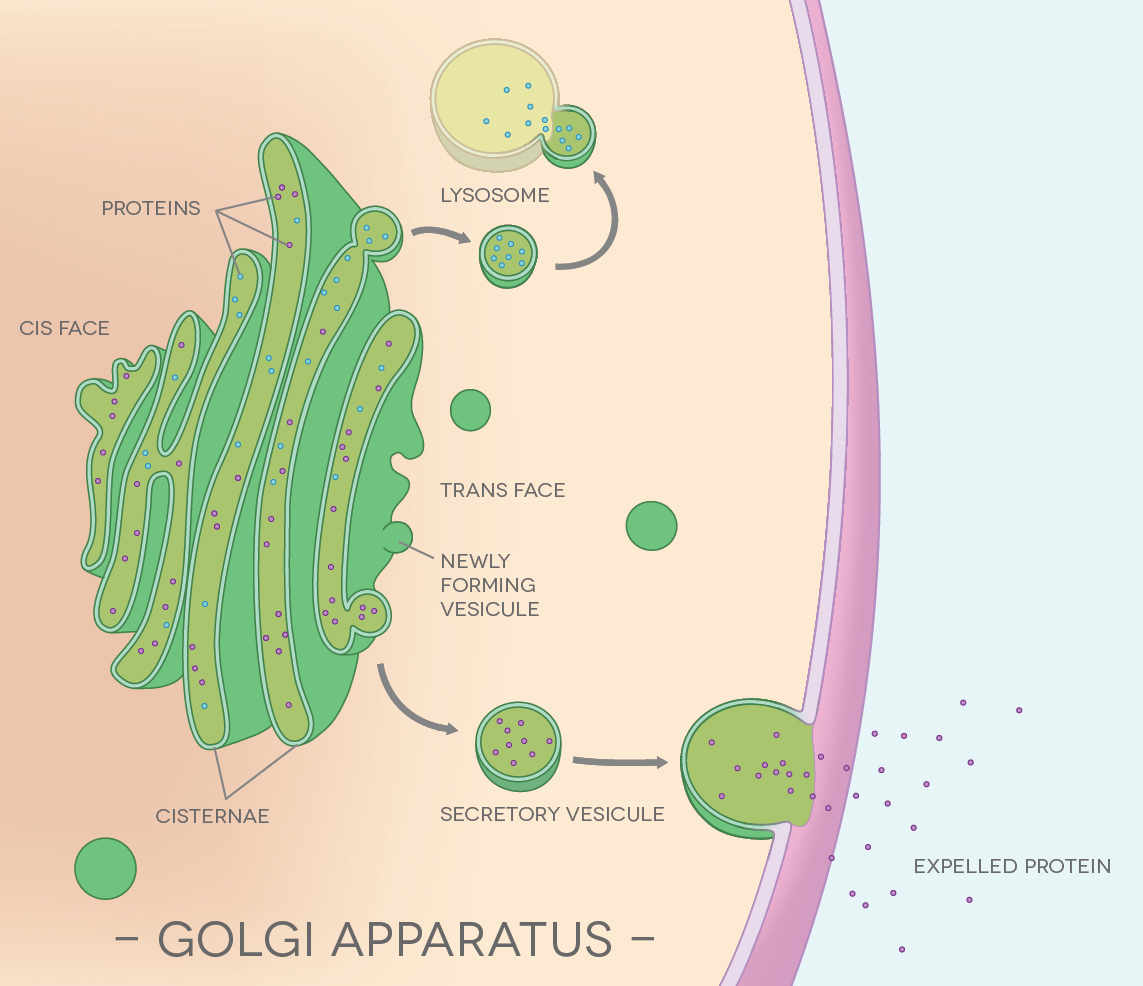 golgi apparatus illustration