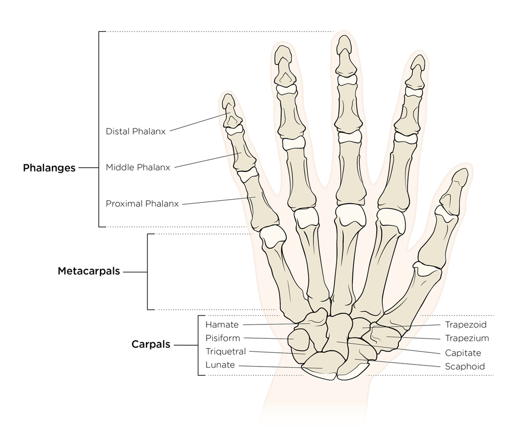 bones anatomy hand illustration