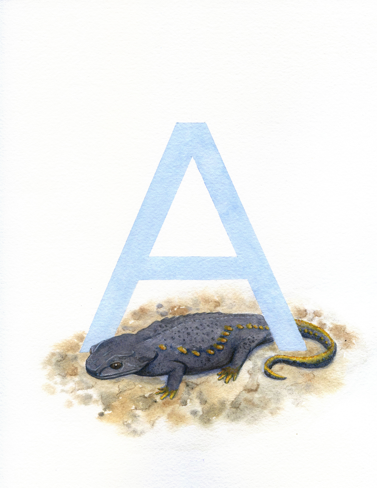 Anderson's Crocodile Newt salamander illustration