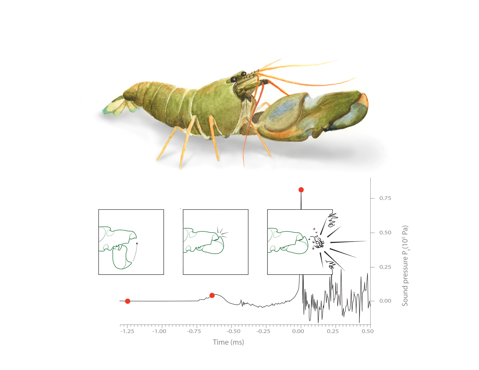 snapping shrimp graph illustration